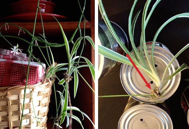 Clipping off the Baby Spider Plant
