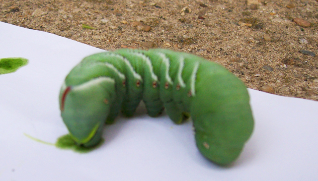 tomato horn worms