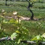 A Vine at Pellegrino Vineyards
