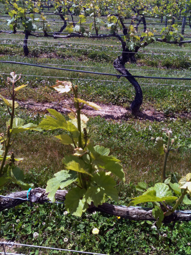 A Vine at Pellegrino Vineyards