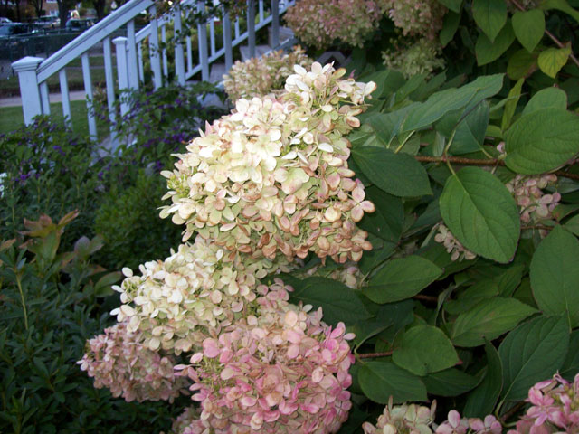 Hydrangeas