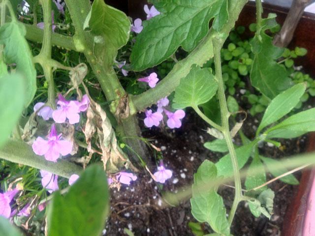 tomato plant damage