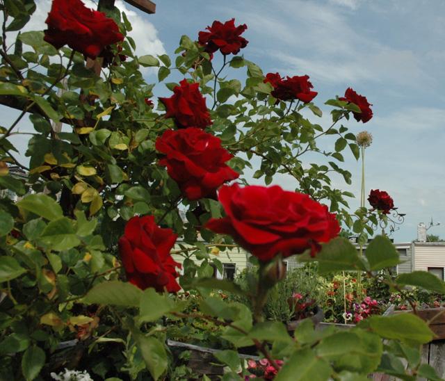 dark_roses
