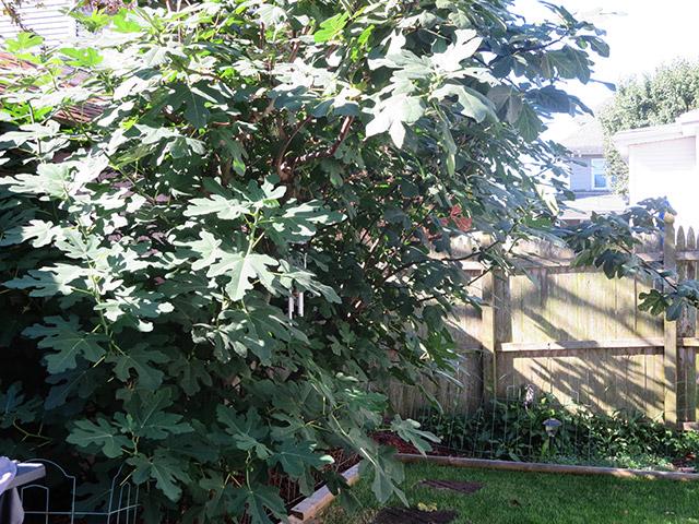 Fran's Figs