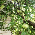 Apple Tree - Rockaway Queens