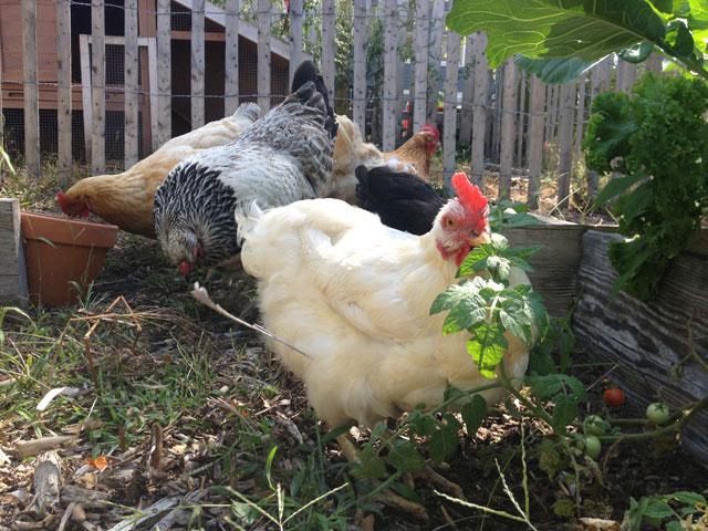 Chickens in Rockaway