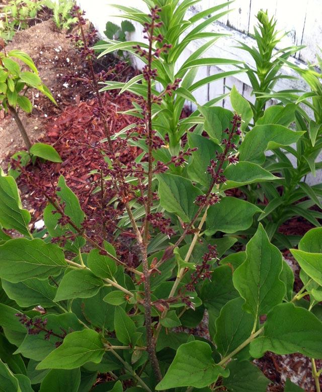 lilac-bush-care