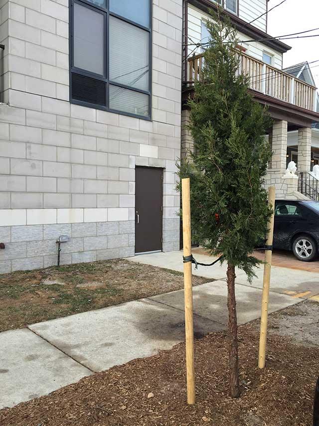 juniper tree 1