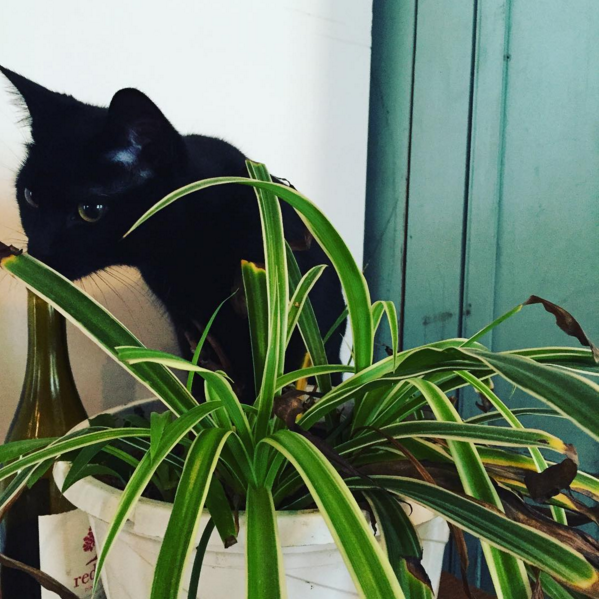 Grams of the week for Are spider plants poisonous to cats