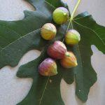 figs-glorifiedtomato-3