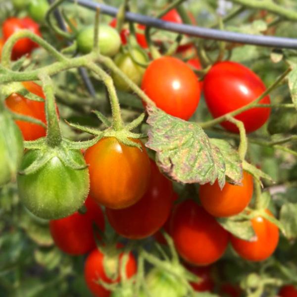 tomatoes-rockaway