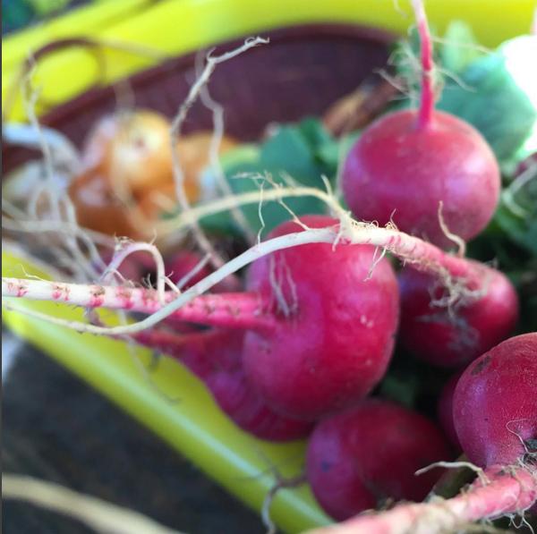 radish-edgemere-farm-far-rockaway