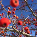 winter-king-green-hawthorne