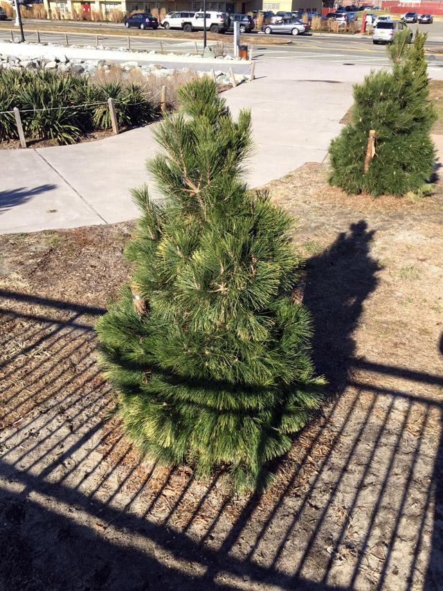 rockaway-tree-planting-4
