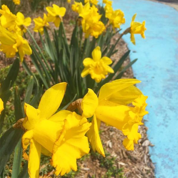 daffodils-rockaway