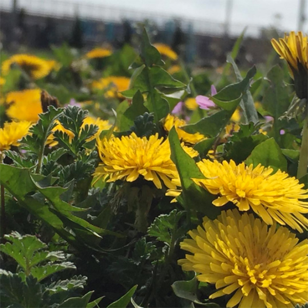 foraging-for-dandelion-leaves,-rockaway-queens