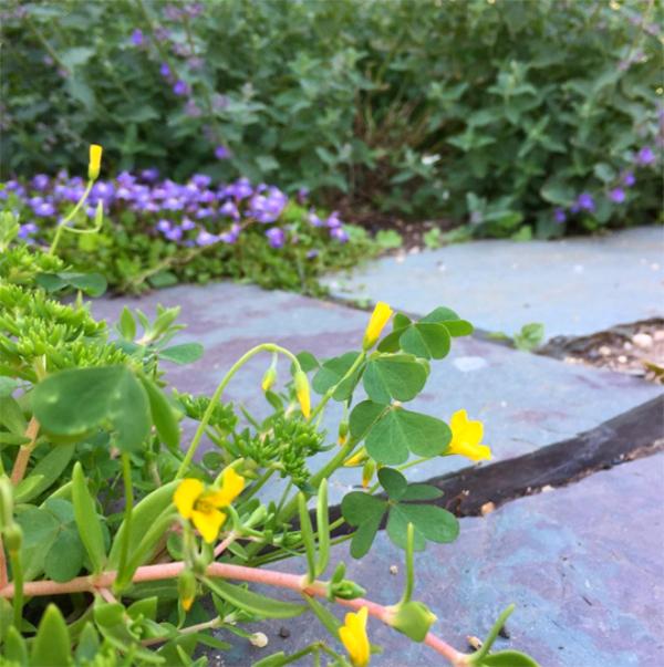 yellow-woodsorrel