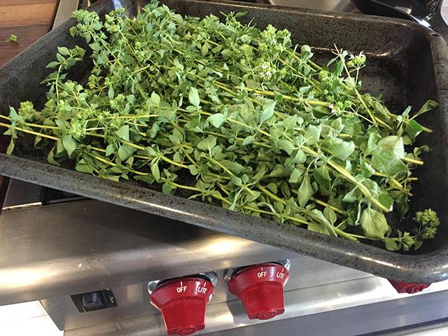oreagano-harvest