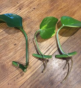 Step 2. The correct way to clip the vine for propagation