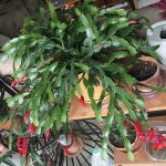 The Christmas Cactus ready to bloom