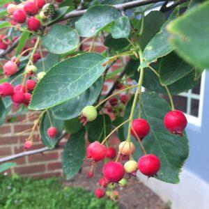 serviceberry-tree