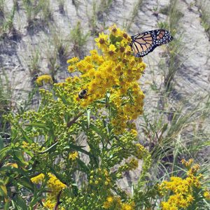 A Monarch Butterfly on Golden Rod at Beach 91st Street