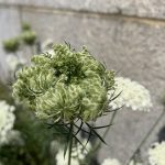 Queen Anne's Lace growing by the 100th Precinct