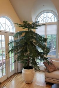 This is my sister Natalie's Norfolk Pine at a towering 10 feet tall!