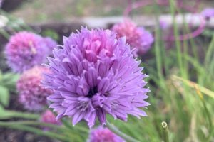chives 3