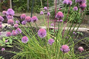 chives 4