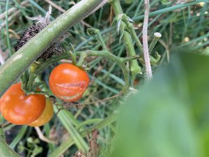 example of a split tomato