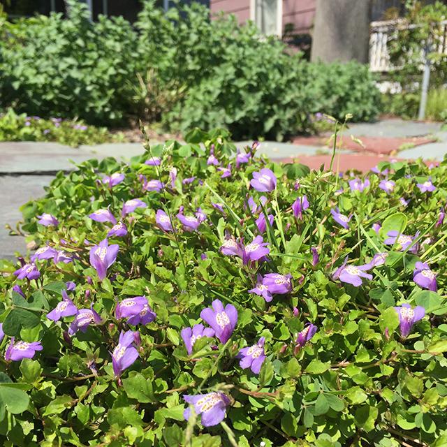 Purple Mazus