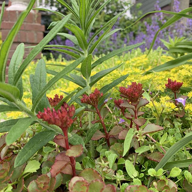 Sedum Pachyclados (red flower)