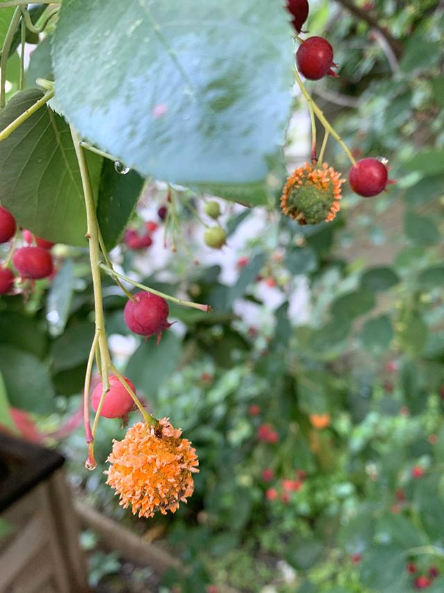 cedar apple rust serviceberry tree